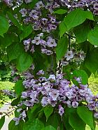 Brooklyn Garden - Catalpa bungei