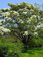 Brooklyn Garden - Chionanthus retusus