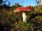 Jumièges à Duclair - Amanite tue-mouches, <i>Amanita muscaria</i>